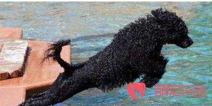 葡萄牙水犬的饮食知识
